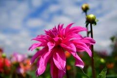 Blommande blomma för dahlia, färgfeber, trädgård i UK royaltyfri bild