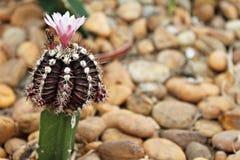 Blommande blomma för liten kaktus i kaktusträdgård Arkivfoto
