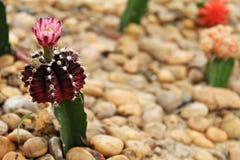 Blommande blomma för liten kaktus i kaktusträdgård Royaltyfria Bilder