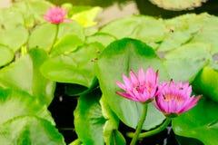 Blommande blomma för rosa färgvatten lilly Fotografering för Bildbyråer