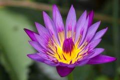 Blommande blomma för violett lotusblomma Arkivfoto