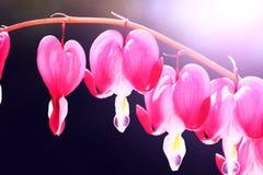 Blommande blommor för blödande hjärta Härliga blommor namngav Dicentr arkivbild