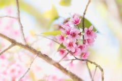 Blommande blomning för Sakura blomma i det Pangkhon berget Chiang Rai, Arkivfoto