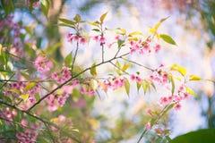 Blommande blomning för Sakura blomma i det Pangkhon berget Chiang Rai, Royaltyfri Fotografi