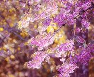 Blommande blomning för Sakura blomma i det Pangkhon berget Chiang Rai, Fotografering för Bildbyråer