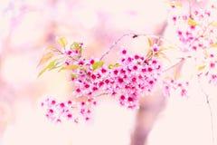 Blommande blomning för Sakura blomma i det Pangkhon berget Chiang Rai, Arkivbilder