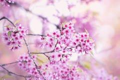 Blommande blomning för Sakura blomma i det Pangkhon berget Chiang Rai, Royaltyfri Foto