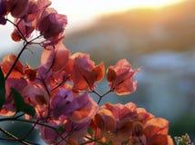 Blommande bougainvillea och solljus Arkivfoto