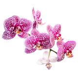 Blommande brokig lila orkidé, phalaenosis som isoleras på vit Royaltyfria Foton