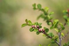 Blommande buske för Cotoneaster med rosa blommor yellow för fjäder för äng för bakgrundsmaskrosor full Royaltyfria Bilder