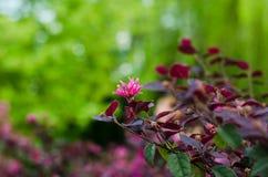 Blommande buske med rosa blommor arkivfoto