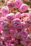 Blommande buske med rosor fotografering för bildbyråer