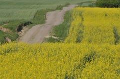 Blommande canola, polskt fält Arkivfoton