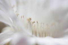Blommande Cereus [kaktusblomman] Royaltyfri Foto
