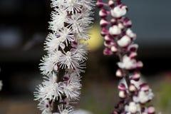 Blommande cimicifuga arkivfoto