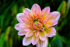 Blommande dahlia i höst Arkivbilder