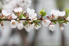 Blommande dekorativ växt Körsbärsröd filial för berg med att blomma vita blommor Nanking körsbär, Prunustomentosa royaltyfri fotografi