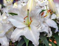 Blommande doftande vit blomma orientaliska Lily After Eight Närbild Arkivbilder
