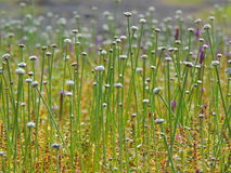 Blommande Eriocaulonaquaticum royaltyfria foton