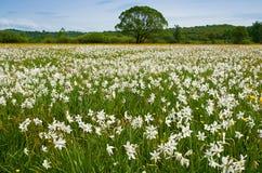 Blommande fält av pingstliljan Arkivfoto