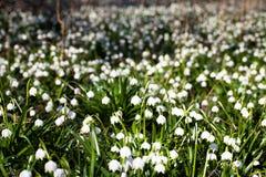 Blommande fält av snödroppeblommor Arkivbild