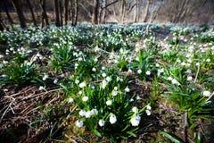 Blommande fält av snödroppeblommor Arkivfoto