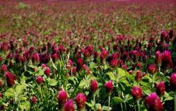 Blommande fält för röd växt av släktet Trifolium royaltyfri fotografi