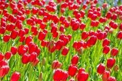 Blommande färgrik trädgård för blomma för tulpanblomsterrabatt offentligt Populär turist- plats Lisse Holland, Nederländerna Sele royaltyfri fotografi