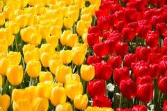 Blommande färgrik trädgård för blomma för tulpanblomsterrabatt offentligt Populär turist- plats Lisse Holland, Nederländerna Sele royaltyfri foto
