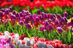 Blommande färgrik trädgård för blomma för tulpanblomsterrabatt offentligt Populär turist- plats Lisse Holland, Nederländerna Sele arkivbilder
