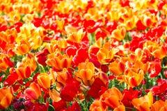 Blommande färgrik trädgård för blomma för tulpanblomsterrabatt offentligt Populär turist- plats Lisse Holland, Nederländerna Sele arkivfoto