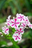 Blommande ` för flox`-bedragare i trädgården Arkivfoto
