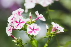 Blommande ` för flox`-bedragare i trädgården Royaltyfria Foton