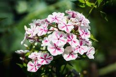 Blommande ` för flox`-bedragare i trädgården Arkivbild