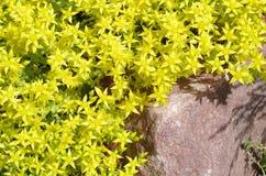 Blommande fetknoppväxt med gula blommor Royaltyfria Foton