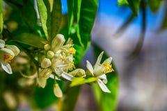 Blommande filial av ett orange träd Arkivbild