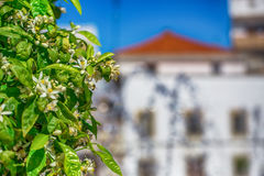 Blommande filial av ett orange träd mot en stadsfyrkant Arkivbild
