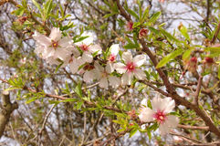Blommande filial av ett plommonträd i vår Royaltyfri Fotografi