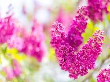 Blommande filial av lilan blom- abstrakt bakgrund Selektivt fokusera Arkivfoto