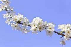 Blommande filial av trädet Royaltyfria Bilder