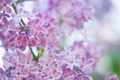 Blommande filial i vår Closeupmakroen av blommande lila lilor blommar med suddig bakgrund blom- naturligt för bakgrund Arkivfoton