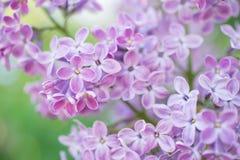 Blommande filial i vår Closeupmakroen av blommande lila lilor blommar med suddig bakgrund blom- naturligt för bakgrund Royaltyfria Bilder