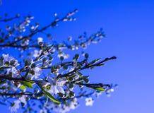 Blommande filialkörsbärblommor Vår Arkivfoton