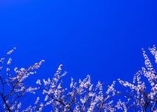 Blommande filialkörsbärblommor Vår Arkivbilder