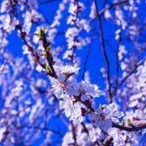 Blommande filialkörsbärblommor Vår Fotografering för Bildbyråer