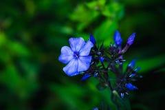 Blommande flox för ` för `-blåttparadis i trädgården Arkivbilder