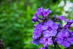 Blommande flox för ` för `-blåttparadis i trädgården Royaltyfria Foton