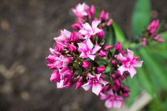 Blommande flox`-Starburst ` i trädgården Royaltyfria Foton