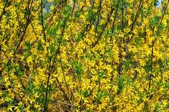 Blommande forsythia Arkivfoto