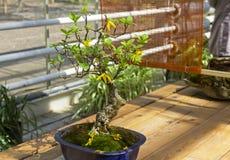 Blommande forsythia - bonsai i stilen av & x22en; Raksträcka och free& x22; Royaltyfri Foto
